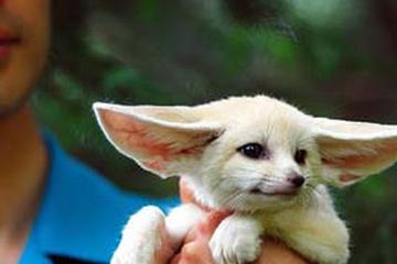 Baby_Fennec_fox.jpg