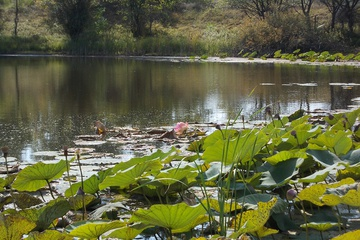 Последний лотос этого лета на р. Ахтуба в 20 км от Волгограда