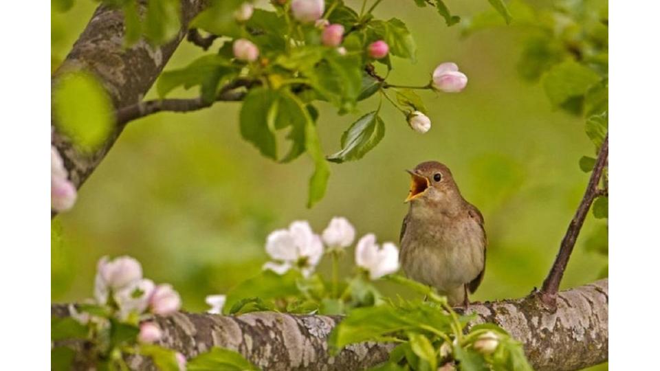 Целительная музыка природы: соловей