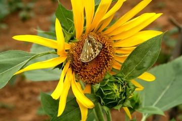 Подсолнух и бабочка
