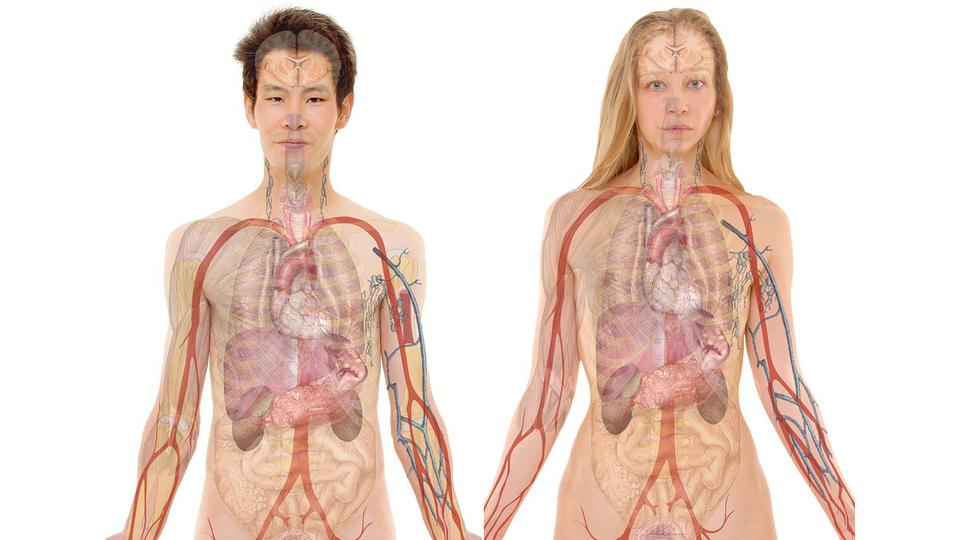 Расположение внутренних органов - картинка