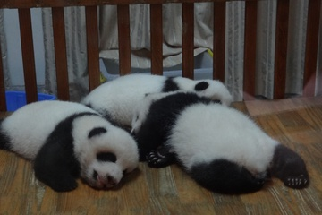 панды практикующие дыхание телом